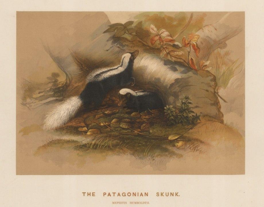 """Wolf: Skunk. 1861 An original colour antique lithograph. 15 x 11"""". [NATHISp7499]"""