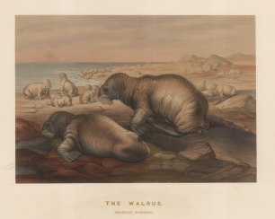 Walrus: Trichecus rosmarus. Captured on the coast of Spitzbergen and drawn from life at the Zoological Society's Vivarium.