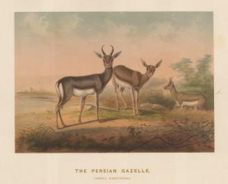 Persian Gazelle. Gazella subgutturusa. Male gazelle from Bussorah drawn from life at the society's Vivarium.