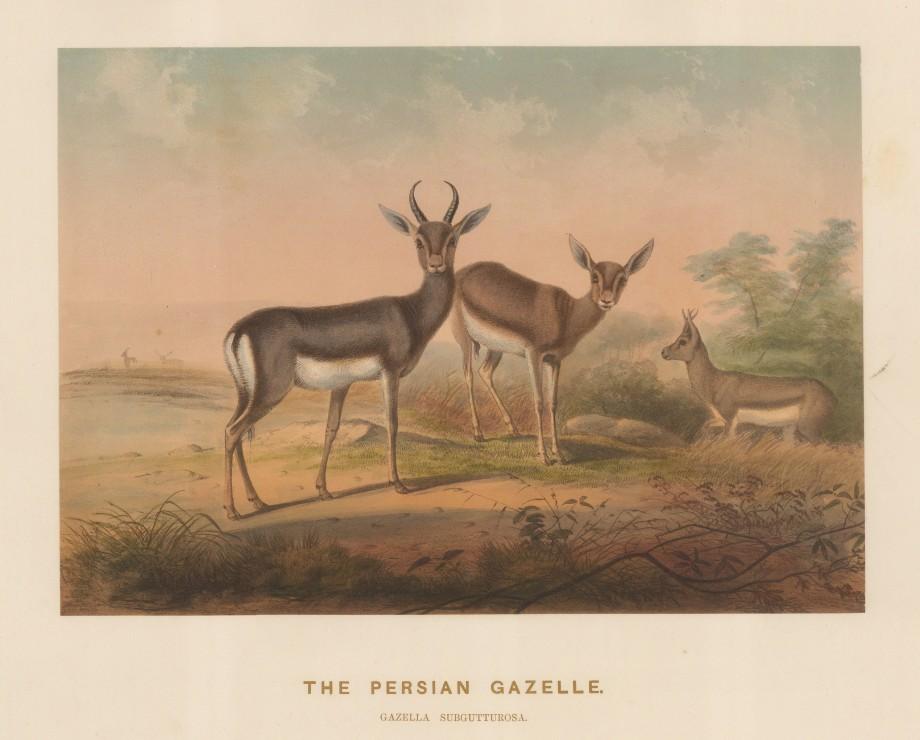 """Wolf: Gazelle. 1861 An original colour antique lithograph. 15 x 11"""". [NATHISp7502]"""
