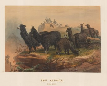 Alpaca: Lima pacos. Breed in captivity and drawn from life at the society's Vivarium.