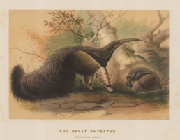 Great Anteater. Mymecophaga jubata. Captured in South America. and drawn from life at the society's Vivarium.
