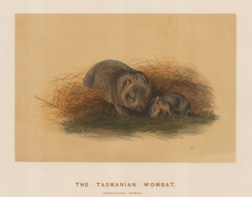 Wombat:Tasmanian Wombat. Phascolomys wombat. Adult with young bred in its enclosure at the society's Vivarium..