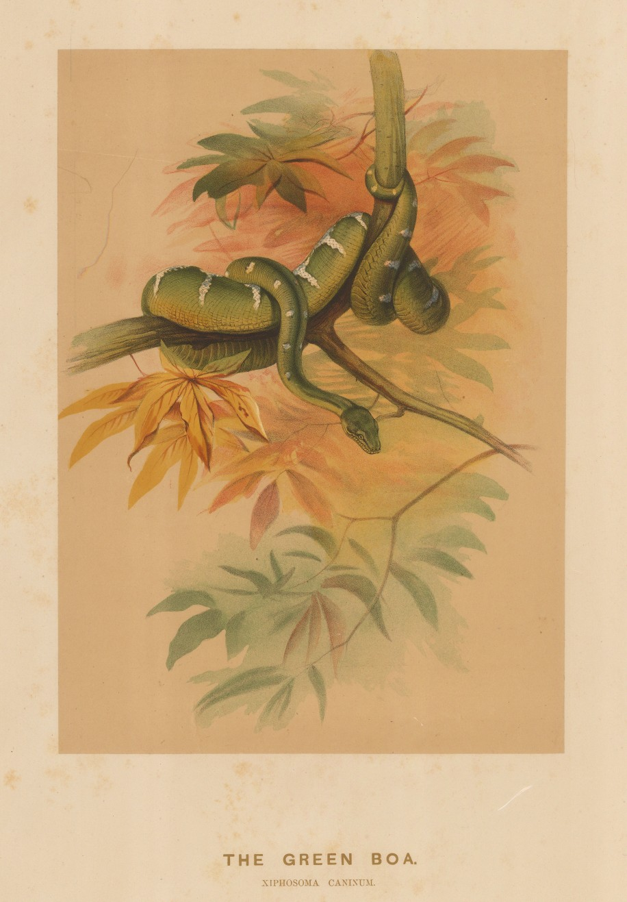 Boa: Green Boa. Niphosoma caninum. Captured in South America and drawn from life at the society's Vivarium..