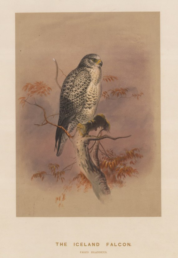 Iceland Falcon. Falcio islandicus. Drawn from life at the Zoological Society's Vivarium..
