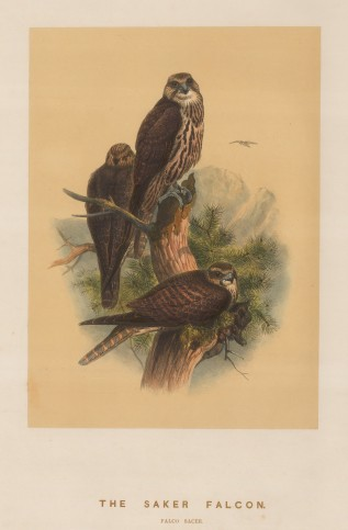 Saker Falcon. Falcio sacer. Drawn from life at the Zoological Society's Vivarium.