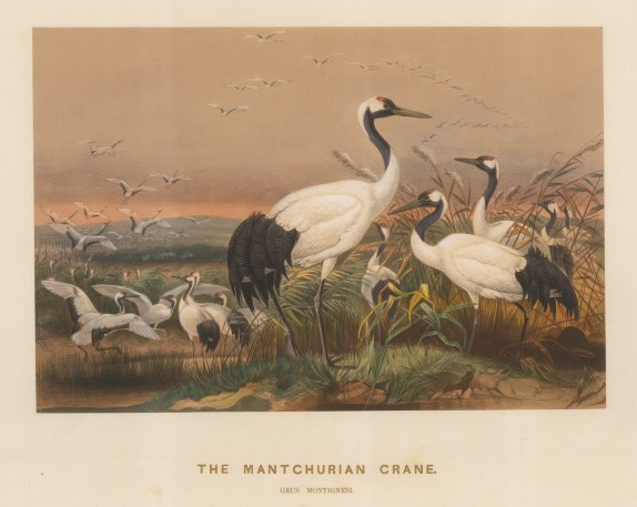 Manchurian Crane. Grus montignesia. Drawn from life at the society's Vivarium.