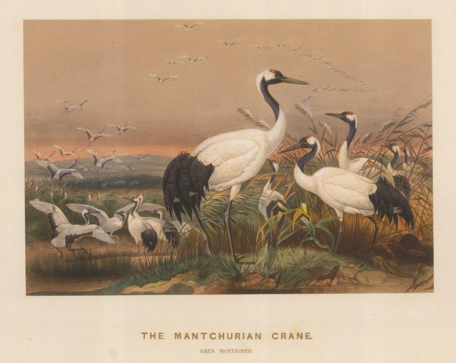 """Wolf:  Crane. 1861 An original colour antique lithograph. 15 x 11"""". [NATHISp7511]"""