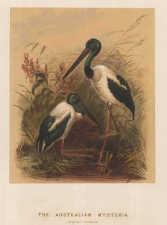 Stork: Australian Mycteria. Myceteria australis. Drawn from life at the society's Vivarium.