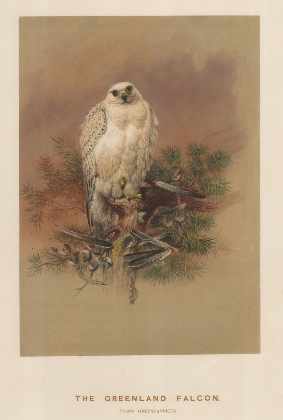Greenland Falcon. Falcio greenlandicus. Saker Falcon. Falcio sacer. Drawn from life at the society's Vivarium.