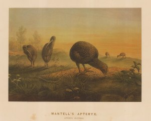 Mantell's Apteryx (North Island Kiwi). Apteryx mantelli. Drawn from life at the Zoological Society's Vivarium