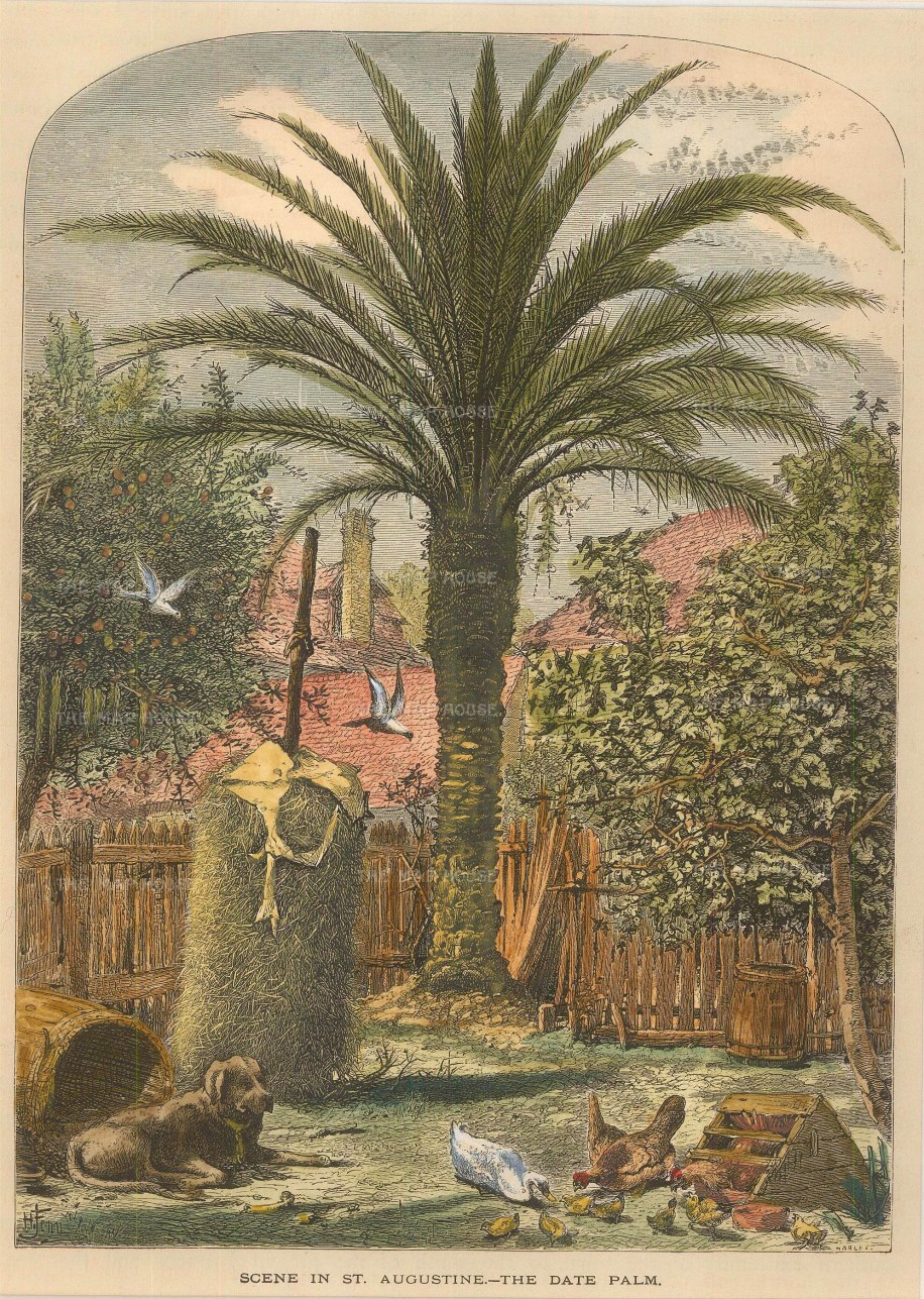 St Augustine: The Date Palm.