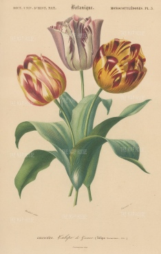 Didier or Garden tulips: Tulipa gesneriana.