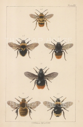 Cuckoo (1. Apathus rupestris) and (2. Apathus campestris), European (3. Bombus fragrans) and Broken-belted (4. Bombus Sorensis).