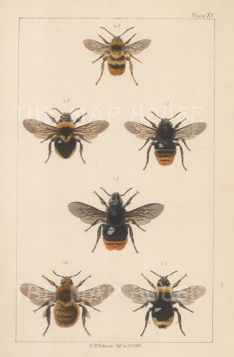 Cuckoo (1. Apathus rupestris) and (2. Apathus campestris), European (3. Bombus fragrans) and Broken-belted (4. Bombus Sorensis).