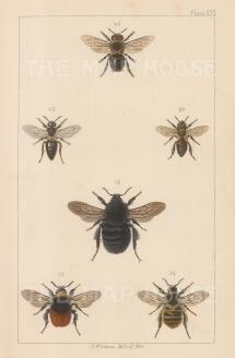 Ruderal (1. Bombus Harrisellus), Northern European (2. Bombus Lapponicus), Knapweed caper (3. Bombus sylvarum) and European honeybee (4. Apis mellifica)