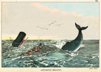 """Edmonston: Sperm Whales, Antarctic. 1862. An original antique chromolithograph. 10"""" x 7"""". [ANTp21]"""