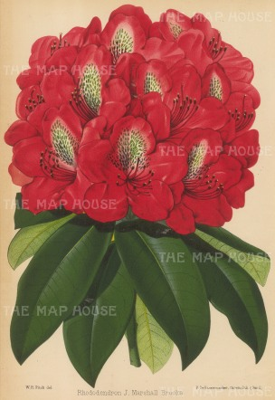 Rhododendron: J. Marshall Brooks: Red.