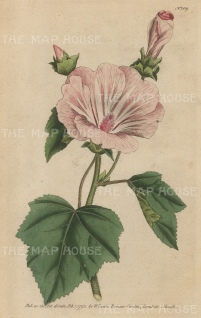 """Curtis: Pink flower and buds. 1789. An original hand coloured antique copper engraving. 5"""" x 8"""". [FLORAp2360]"""