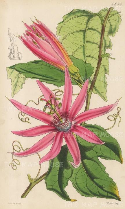 "Reeve: Blood coloured Tacsonia. 1854. An original hand coloured antique lithograph. 6"" x 9"". [FLORAp2494]"