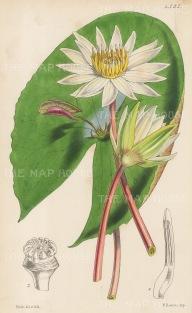 "Reeve: Small-flowered Proliterous. 1854. An original hand coloured antique lithograph. 6"" x 9"". [FLORAp2501]"