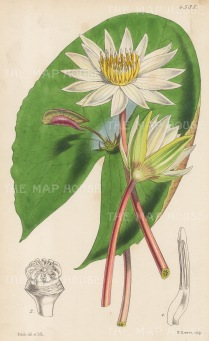 "Reeve: Small-flowered Proliterous. 1854. An original hand coloured antique lithograph. 6"" x 9"". [FLORAp2501]"
