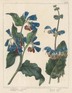 "Edwards: Eastern Comfrey & Indian Sage. 1805. An original hand coloured antique copper engraving. 8"" x 10"". [FLORAp2704]"