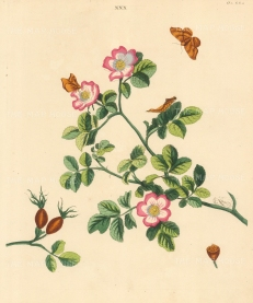 Sweet Briar Rose, rosa englanteria and Wild Rose Moth, phalaena lacertenaria.