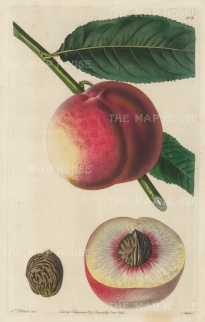 "Withers: George IV Peach. 1829. An original hand coloured antique copper engraving. 6"" x 10"". [NATHISp5461]"