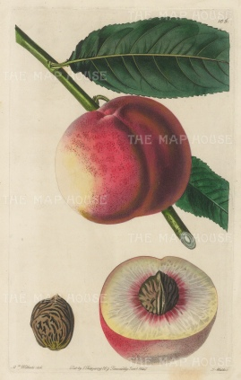 """Withers: George IV Peach. 1829. An original hand coloured antique copper engraving. 6"""" x 10"""". [NATHISp5461]"""