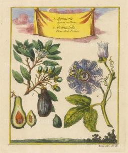 Avocado (Persea Americana) and a Granadille (Passion flower)