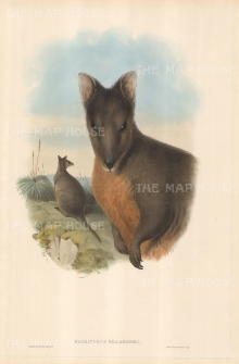 Wallaby: Halmaturus Billardieri, Tasmanian Wallaby.