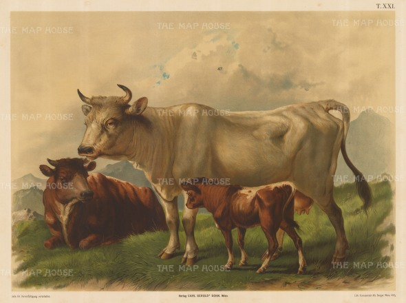 "Hartinger: Cattle. 1895. An original antique chromolithograph. 31"" x 23"". [NATHISp2321]"