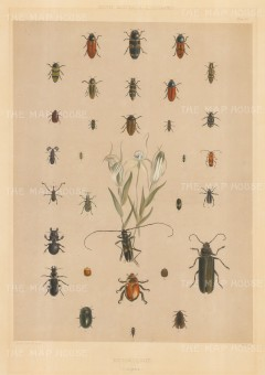 "Angas: Beetles of South Australia. 1846. An original colour antique lithograph. 13"" x 20"". [NATHISp4238]"