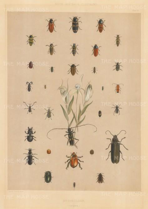 "Angas: Beetles of South Australia. 1846. An original colour antique lithograph. 13"" x 20"". [NATHISp4238]"