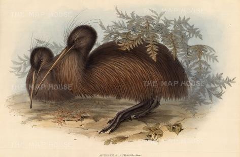 Kiwi: Apteryx Australis