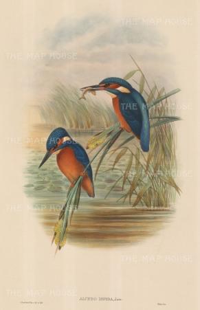 SOLD. Kingfisher: Alcedo Ispida.