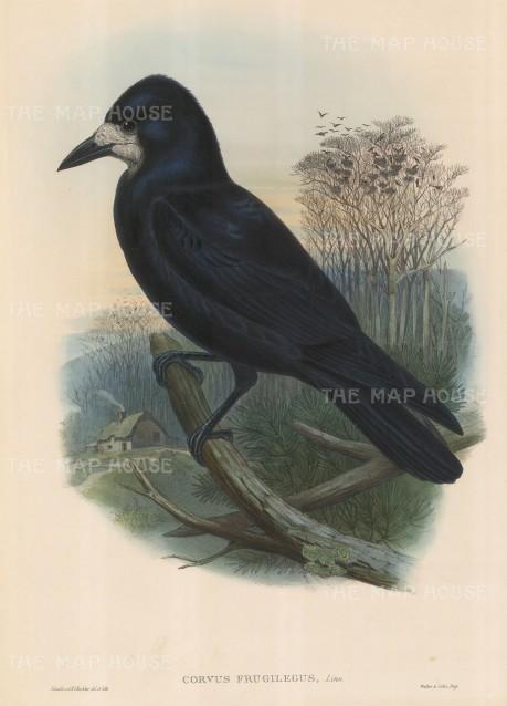 Rook: Corvus Frugilegus.