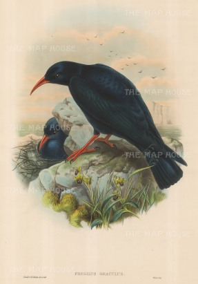 Chough: Fregilus Graculus, Red-billed Chough.