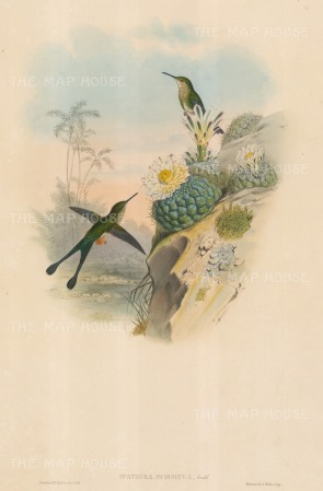 Hummingbirds: Spathura Scissiura