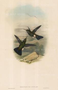 Hummingbirds: Eriocnemis Squamata.