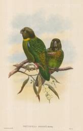 SOLD. Parrots: Psittacella Brehmii.