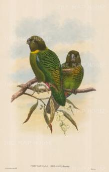 Parrots: Psittacella Brehmii.