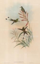 Hummingbirds: Discura Longicauda.
