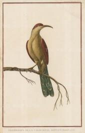 "Le Perouse: California Thrasher. 1797. A hand coloured orignal antique copper engraving. 10"" x 17"". [NATHISp5600]"