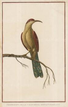 California Thrasher (Toxostoma redivivum).
