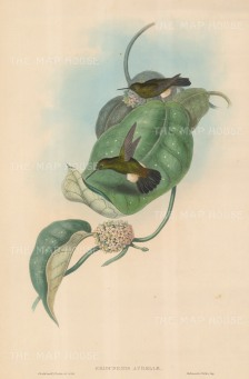 Hummingbirds: Eriocnemis Aureliae, Aurelia's Puff-leg.