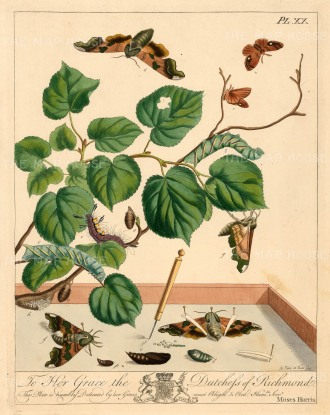 "Harris: Moths & Caterpillars. 1840. An original colour antique copper engraving. 10"" x 12"". [NATHISp5970]"