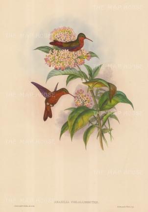 Hummingbirds: Amazilia Corallirostris.