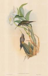 Hummingbirds: Phaethornis Oseryl.